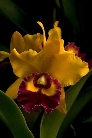 Orchidée Cattleya_004