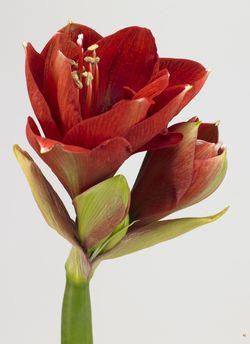 Amaryllis ou hippeastrum tr s belle fleur coup e pour les for Amaryllis fleuriste
