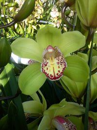 Orchidées Cymbium Virginie Ilsthoorn_04