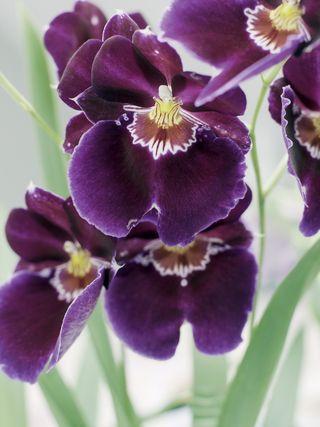 4 conseils de soins pour l 39 orchid e cambria le pouvoir des fleurs. Black Bedroom Furniture Sets. Home Design Ideas