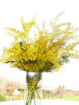 C Est La Saison Du Mimosa Le Pouvoir Des Fleurs