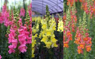 Muflier, le Var Terre des fleurs