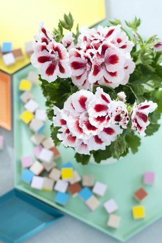 03.Pelargonium.7