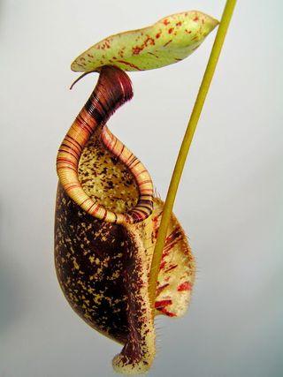 T Baillard Nepenthes rafflesiana
