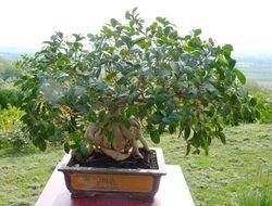 Ficus microcrapa ginseng J-Bruffin_01