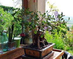 Ficus microcrapa ginseng J-Bruffin_10
