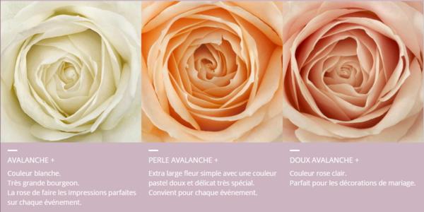 les roses avalanche font de la pub le pouvoir des fleurs. Black Bedroom Furniture Sets. Home Design Ideas