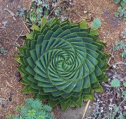 Plante-aloe-polyphylla (1)