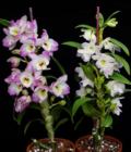 Orchidee Dendrobium Nobile