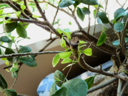 Ficus ginseng_01