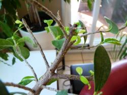 Ficus ginseng_03