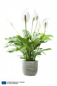 Spathiphyllum_05
