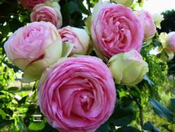 Roses Pierre de Ronsard_04