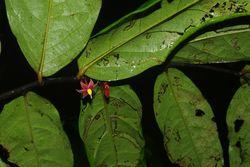 Sirdavidia solannona_02
