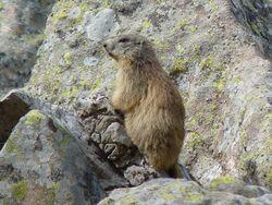 Marmotte_01