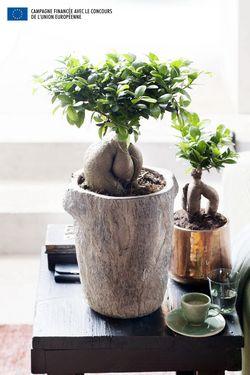07.Ficus .8