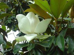Magnolia arbre 02