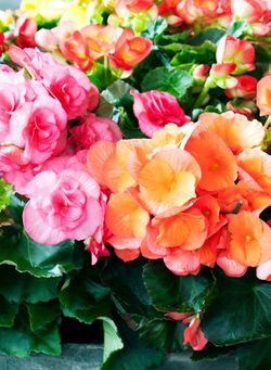 Bégonia fleurs