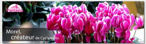 Cyclamens MOREL 00