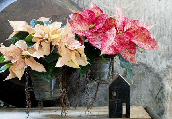 les poinsettias reviennent le pouvoir des fleurs. Black Bedroom Furniture Sets. Home Design Ideas