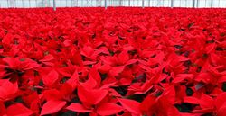 Poinsettias 7