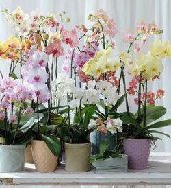 Phalaenopsis choix plantes