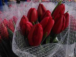 Sica tulipes 1