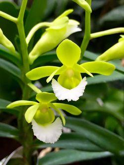 Orchidarium Christensonia vietnamica