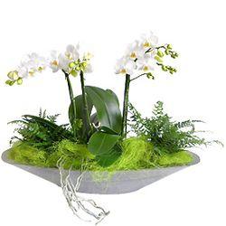 Coupe phalaenopsis