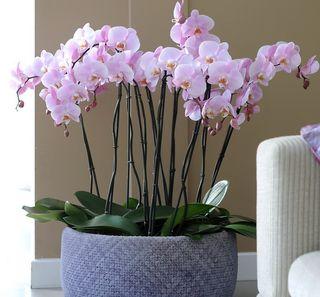 Phalaenopsis rose
