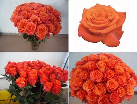Rose tabasco