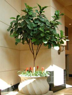 Ficus lyrata 2