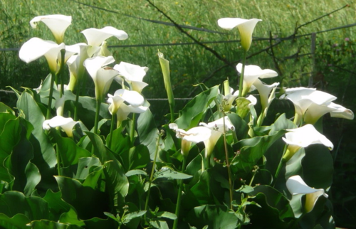Arum blanc touffe