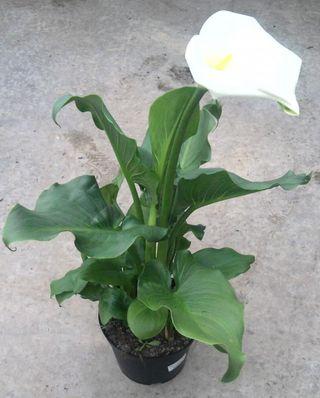 Arum blanc en pot