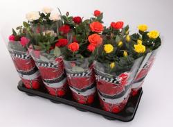 Mini-rosiers