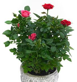 conseils pour les petits rosiers en pot le pouvoir des fleurs