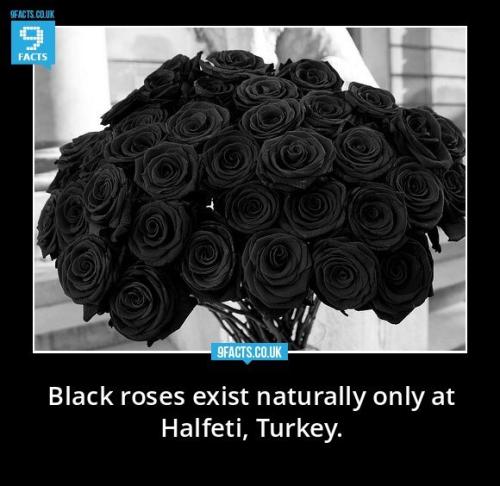 Roses Halfeti