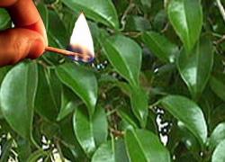 Ficus feu 4