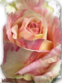 Prenom rose