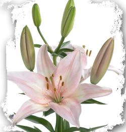 Prenom Lily