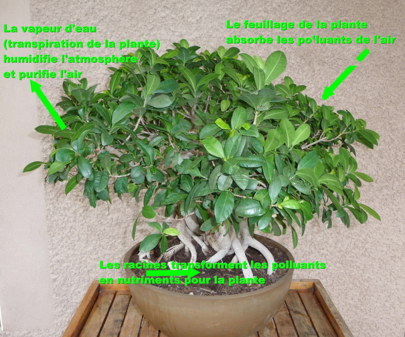 Ficus dépoluant
