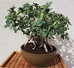 Ficus mars 2016 B