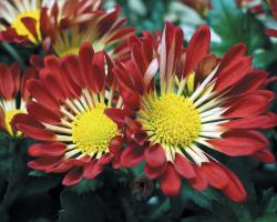 Le Chrysantheme Une Fleur Unique Le Pouvoir Des Fleurs