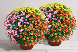 Interflora chrysanthèmes