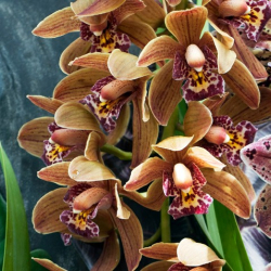 OHF Orchidée Cymbidium