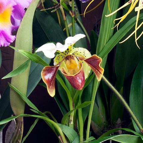 OHF Orchidée Paphiopédilum