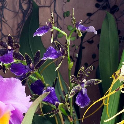 OHF Orchidée Zygopétalum