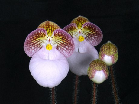 Huntington orchidée
