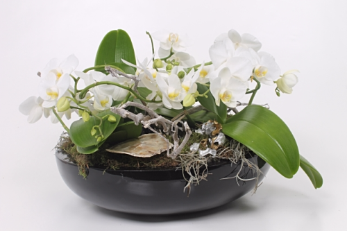 Orchidée-Phalaenopsis_coupe