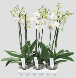 Orchidée-Phalaenopsis_01